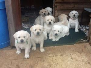 Pure Breed Labrador Puppies FOR SALE ADOPTION