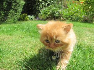 British Longhair Red Self Male Kitten FOR SALE ADOPTION