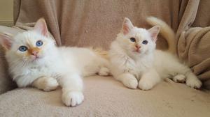 Gccf Registered Birman Kittens FOR SALE ADOPTION
