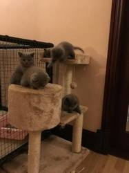 100 Pure Breed Chunky British Short hair Kittens For Adoption FOR SALE ADOPTION