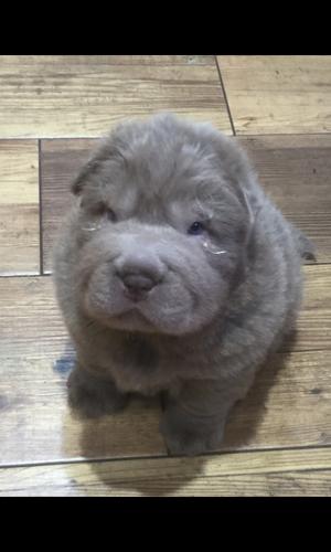 Beautiful Kc Reg Sharpei Pups FOR SALE ADOPTION