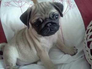 Beautiful Pug Puppy Male Kc Reg Pde Tested Clear FOR SALE ADOPTION