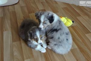 Cute Australian Shepherd puppies FOR SALE ADOPTION