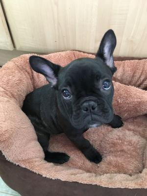 French Bull Dog Male FOR SALE ADOPTION