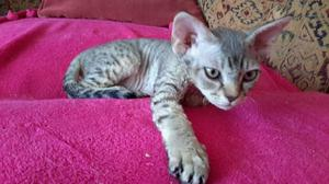 Gccf Registered Devon Rex Female Kitten For Sale FOR SALE ADOPTION