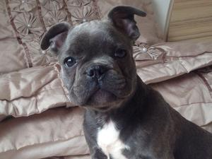 Last Puppy Reduced Blue Kc Reg Boy Frenchie FOR SALE ADOPTION