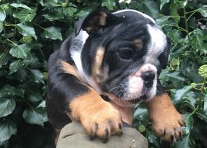 Stunning English Bulldog for Sale FOR SALE ADOPTION