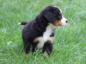 Cute Bernese Mountain Dog Puppies Ready FOR SALE ADOPTION