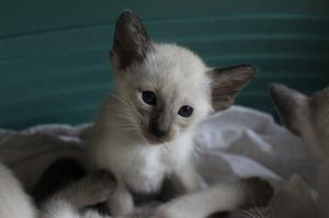 Male Seal Point Kitten Ready Soon FOR SALE ADOPTION