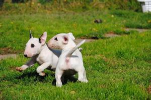 Stunning Litter Of English Bull Terrier puppies ready now FOR SALE ADOPTION