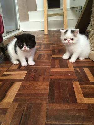 Gorgeous Pedigree Exotic Shorthair Kittens FOR SALE ADOPTION