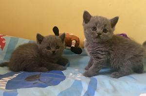 Pure British Shorthair kittens FOR SALE ADOPTION