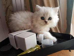 Stunning Chinchilla Persian kittens FOR SALE ADOPTION