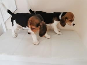 Beagle Puppies Now Available For You FOR SALE ADOPTION
