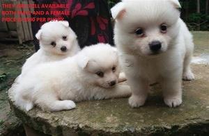 Charming Teacup Pomeranian Puppies for adoption FOR SALE ADOPTION