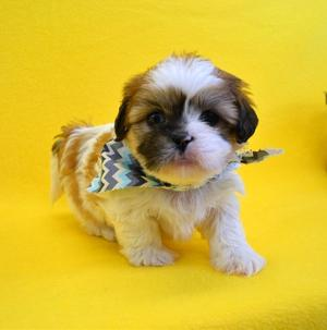Lhasa Apso puppies affectionate loving intelligent and devoted FOR SALE ADOPTION