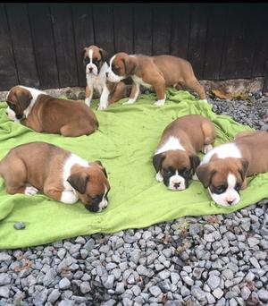 Red White Red with Black Boxer Puppies FOR SALE ADOPTION