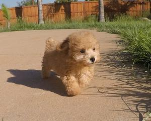 This precious Cavapoo puppy will make a great addition to any family FOR SALE ADOPTION