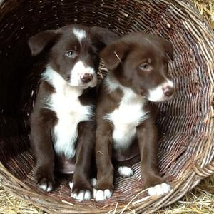 Beautiful Red And White Border Collie Puppies FOR SALE ADOPTION