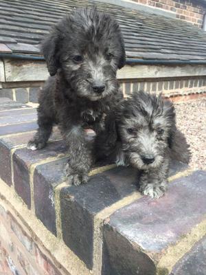 Bedlington Terrier Puppies FOR SALE ADOPTION