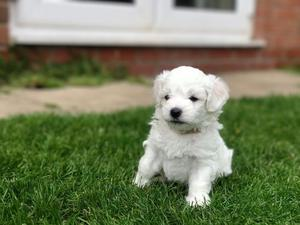 Kc Registered Top Quality Bolognese Puppies FOR SALE ADOPTION