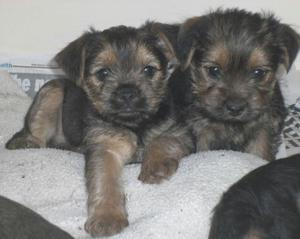 Beautiful Border Terrier Pups FOR SALE ADOPTION