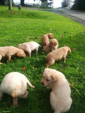 Labrador puppies ready for their new homes FOR SALE ADOPTION