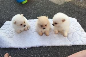 Pure Pomeranian pups available for loving home