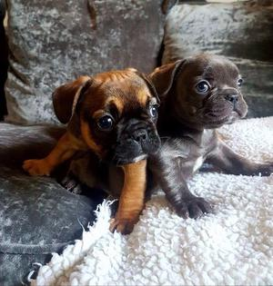STUNNING BEAUTIFUL SHOW QUALITY FRENCH BULLDOGS AVAILABLE NOW FOR SALE ADOPTION