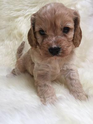 Stunning Toy Cavapoo Puppies Pra Clear FOR SALE ADOPTION