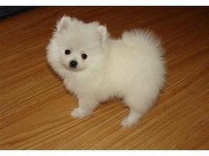 Adorable Pedigree Pomeranian Puppies Ready FOR SALE ADOPTION