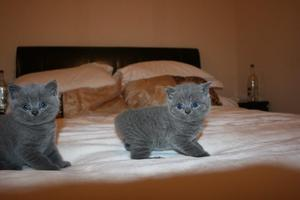 Adorable chunky British Shorthair kittens available now FOR SALE ADOPTION
