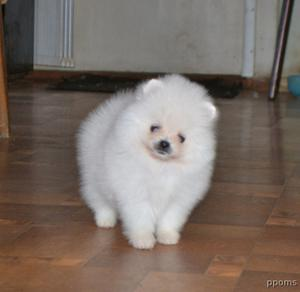 Lovely Pomeranian Puppies for Sale FOR SALE ADOPTION