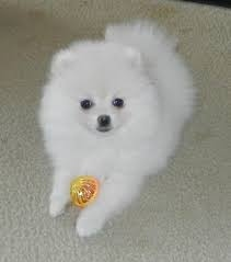 M f Pomeranian Puppy FOR SALE ADOPTION