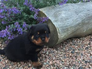 Male Rottweiler puppy ready to go now FOR SALE ADOPTION