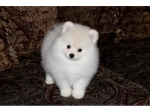 Re Adorable Pomeranian Puppies FOR SALE ADOPTION