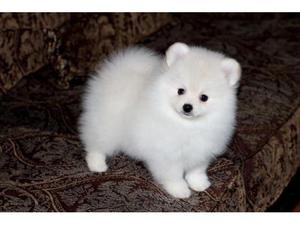 Two Awesome Pomeranian Puppies FOR SALE ADOPTION