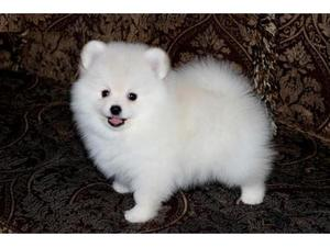White Pomeranian Puppy For Adoption FOR SALE ADOPTION