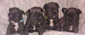 stunning Blue French Bulldog pups FOR SALE ADOPTION