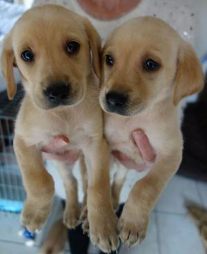 3 Gorgeous Labrador Retriever Puppies FOR SALE ADOPTION