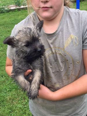 5 Beautiful Cairn Terrier Puppies FOR SALE ADOPTION