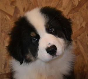 Australian Shepherd Male Puppy FOR SALE ADOPTION