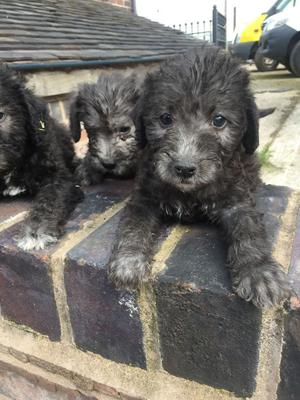 Bedlington Terrier Puppies For Sale Ready Now FOR SALE ADOPTION