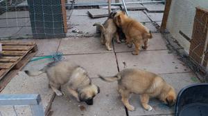 Caucasian Shepherds Ovcharka Puppys FOR SALE ADOPTION