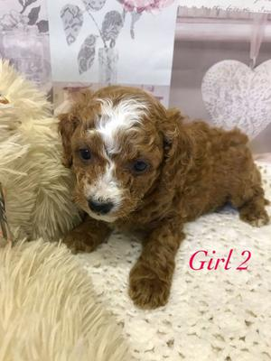 Deep Dark Red Health Tested Toy Cavapoo Puppies FOR SALE ADOPTION