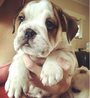 English Bulldog Puppies For Sale FOR SALE ADOPTION