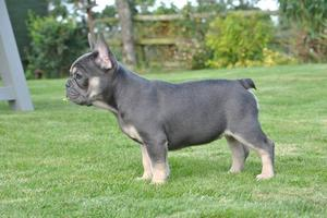 French Bulldog 12 weeks old FOR SALE ADOPTION