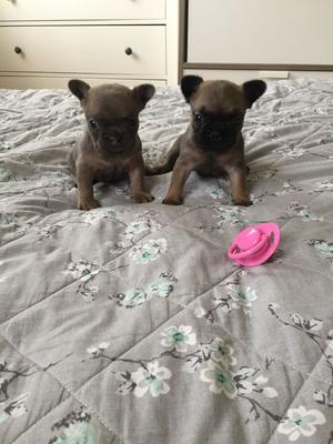 French Bulldog Puppies Kc Reg FOR SALE ADOPTION
