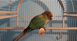 Green Cheek Conure FOR SALE ADOPTION