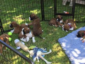Kc Reg Bobtail Boxer Puppies FOR SALE ADOPTION